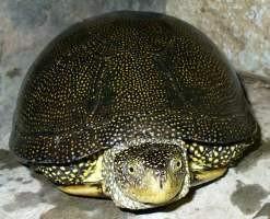 Болотные черепахи - активные животные.