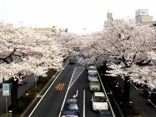Сакура и её цветение