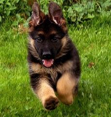 Породы собак: Немецкая овчарка, Фотография 1.